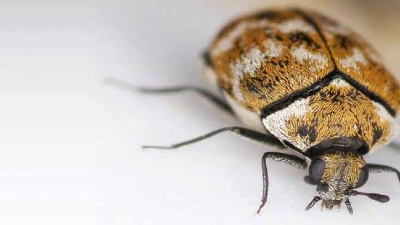 Imagen de los escarabajos de la alfombra