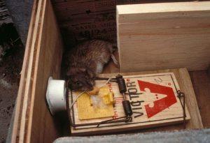 Cómo eliminar las ratas