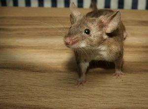 Mordedura de las ratas