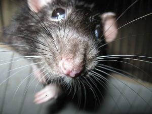 Son peligrosas las ratas