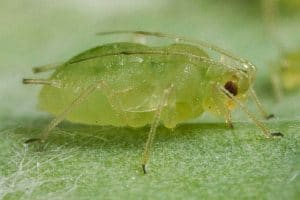 Pulgón verde del melocotonero
